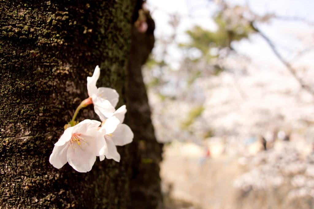桜の時期は要チェック